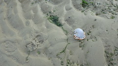 Grey bonnet snail (Phalium glaucum) (wildsingapore) Tags: chekjawa pulau ubin phalium glaucum cassidae gastropoda mollusca island singapore marine intertidal shore seashore marinelife nature wildlife underwater wildsingapore