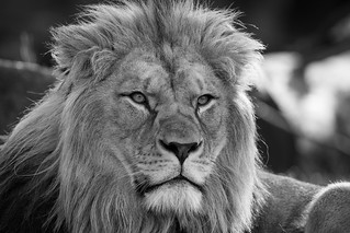 Barbary Lion Portrait