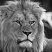 Barbary+Lion+Portrait