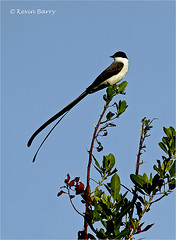 Fork-tailed Flycatcher (Kevin B Photo) Tags: kevinbarry forktailedflycatcher dadecountyflorida bird avian vertical rare autumn fall black white blue nature