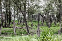 dead trees (paolotrapella) Tags: dead trees alberi morti golena del pò fiume river natura tres treesinthepicture smileonsaturday