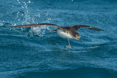 yelkouan shearwater (leonardo manetti) Tags: oceano mare uccello acqua sea bird birds wild natue