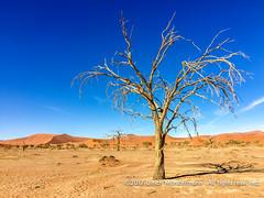 Sossusvlei, Namib-Naukluft Park, Namibia (Ulrich Münstermann) Tags: africa afrika dünen landschaft namibnaukluftpark namibia wüste dead desert dry dunes landscape landschap sand tree hardapregion