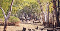 impressions of the alice #1 (Fat Burns ☮) Tags: landscape river gumtrees aliceriver barcaldine queensland australia bush bushscene outback outbackriver eucalypts eucalypttrees trees deadtrees dryriverbed riverbed redrivergums nikond500 sigma150600mmf563dgoshsmsports