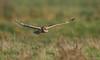Velduil - Short-eared Owl - Asio flammeus -3642 (Theo Locher) Tags: shortearedowl velduil sumpfohreule hiboudesmarais asioflammeus birds vogels vogel oiseaux belgium belgie copyrighttheolocher