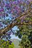 IMG_2336 Jacaranda, South Africa 10_11_2015 (Sugar Beet Pete) Tags: jacarandatree tree southafrica landscape mountain
