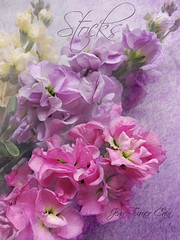 Stocks (Jean Turner Cain) Tags: flower flora floral fleur flor bloem blomst stocks pink purple texture textured textures photoshop jeanturnercain
