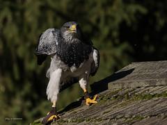 Kordillerenadler... (wernerlohmanns) Tags: gefährlich greifvögel adler aguja blaubussarg natur outdoor sigma150600c schärfentiefe nikond750 deutschland hellenthal fleischfresser