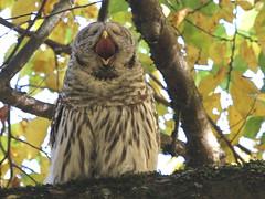 I need caffeine!!!    :) (Paridae) Tags: owl barredowl yawn yawningowl strixvaria familystrigidae birdsofbritishcolumbia birdsofprey thingswithwings afewofmyfavouritethings featheredfriends feathered canoneos7d