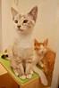 Angel (Cathy Niland Cat Photos) Tags: angel fkp