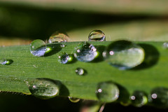 Morning dew (daniel_lower_photos) Tags: photography waterphotography water waterdrop morning morningdew earlymorning plant green amatuerphotography natural naturephotography amaturephotography nature macroshot macrophotography closeupshot closeup falmouth cornwall canon20d canonphotography canon