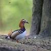 male mandarin duck (senn_b) Tags: duck mandarinduck canardmandarin aixgalericulata belgium belgien belgië belgique hainaut hainault bird canon