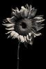 i love a bargain (auntneecey) Tags: sunflower monochrome blackbackground black white 365the2017edition 3652017 day309365 5nov17