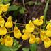 Capachitos / Flores Silvestres de Chile