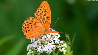 Papillon : Argynnis paphia