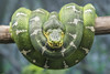 Emerald Tree Boa (Michael Zahra) Tags: corallus tree boa treeboa snake reptile southamerica nature animal eye eyes closeup canon predator green leaves emeraldtreeboa zoo