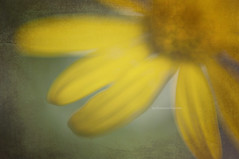 Nostalgia (mhd.hamwi) Tags: vintage nostalgia rose flower yellow nature memories past texture nikon nikond5000 mhdhamwi mohammadhamwi middleeast fineart art artistic dream bokeh egypt cairo fall autumn cold