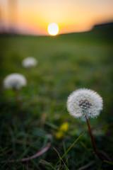 The rode to sun (kusozako0813) Tags: sundown sunset evening dandelion nature unseasonable autumn flower