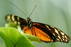 DSC04138 (denn22) Tags: butterfly schmetterling papillon september 2017 ilce7rm2 a7rm2 70200mmf28gmoss denn22