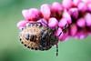 268/365 (Daegeon Shin) Tags: nikon d750 nikkor 55mmf28 macro insecto insect bug bicho animal pentatomidae larva dof 니콘 니콘렌즈 마크로 접사 곤충 벌레 동물 노린재 유충 약충 365