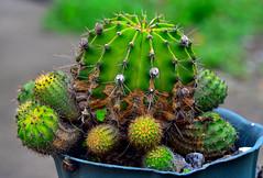 Pura espinas. (jagar41_ Juan Antonio) Tags: flores flor flora cactus espinas