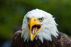 Bald Eagle (Mathias Appel) Tags: bald eagle weiskopf seeadler vogel bird tier animal zoo tierpark prey raubvogel bokeh d7100 70200 f28 dof depth field depthoffield haliaeetus leucocephalus aves eye eyes feathers brown white green yellow america canada wing flügel federn beak bill schnabel stern proud stolz wappentier