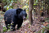 Black Bear on Abrams Falls Trail (tr0mbley) Tags: black bear great smoky mountains national park geographic bryson city townsend abrams falls trail hiking waterfall creek cades cove gsm gsmnp adventure wildlife outdoors optoutside nature scenery nikond810