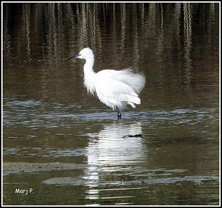 Little Egret.