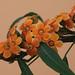 Euphorbia griifitti