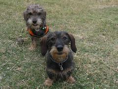 Pipa y Tamy (bego vega) Tags: pipa piparra pilar kira pet mascota perro perritas dog dachshund teckel tamy tamara madrid huerta algete bego vega veguita bv begovega