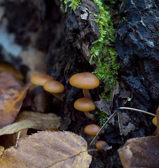 SEL90M28G (DJBellis) Tags: sony macro a7s sel90m28g sonyalpha macrophotography nature fungus mushroom mushrooms