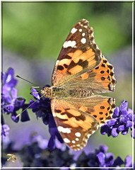 Last Of The Ladies (Vidterry) Tags: butterfly paintedlady ev213 iso400 12000thf16 nikkor200mmmicro nikond500