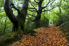 Enter Autumn (Christian Hacker) Tags: autumn leaves yellow orange trees tree cornwall uk england canoneos50d roots path way forest woods landscape rainy wet bark moss mossy outdoors overgrown nature entrance beech low light walk public gnarly explore explored