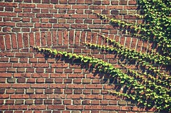 Forms in nature 42.52 (New Expressions by the Old Christine) Tags: formsinnature ivy ivyonwall growth growthonwall plants plantlife bricks brickwall