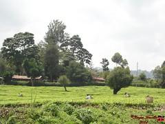 Tea picking in Nandi (Kenyan Traveller) Tags: tea teabushes teafarm teagarden nandi kenya teapicking