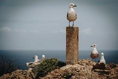 Bird Boss - Seabird - Who is the boss ? :-) (DonKamilo1984) Tags: möwe white weis gruppe vogel vögel birds bird boss portugal beach sea seabird ocean