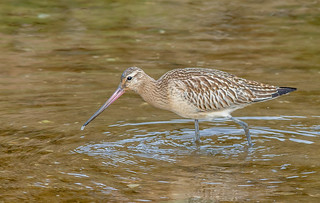 JWL9532  Bar Tailed Godwit..