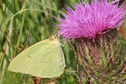 Cloudless Sulphur (Phoebis sennae) on Purple Thistle (Cirsium horridulum)