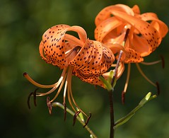 A Product Of Evolution (swong95765) Tags: orange spotted petals flower flowers bokeh stamen stamens pretty beautiful gorgeous nice interesting