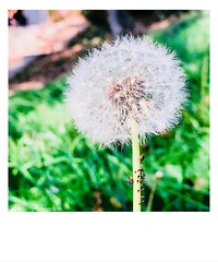 Make a wish and trow your cares to the wind! (ilinca_francesca) Tags: dandelion photooftheday shotoniphone october autumn photography green nature