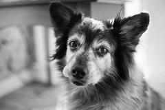 Maverick (Garen M.) Tags: dogs chip jojo testshots nikond850 cat chicklet maverick nikkor35mmf14 buttercup