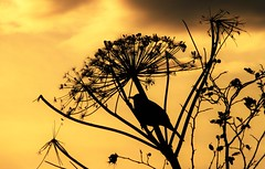 Giant Hog Weed Silhouette..x (Lisa@Lethen) Tags: silhouette nature giant hog weed autumn sky sunset weather wildlife