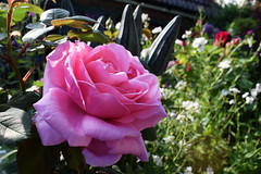 May in the Garden (Mark Wordy) Tags: mygarden summer flowers roses rosa rosebrothercadfael