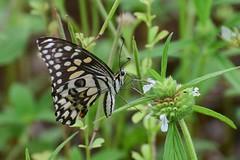 Lime Butterfly (sreejithkallethu) Tags: limebutterfly butterflies butterfliesofkerala nature naturephotography paravur kollam kerala