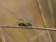 Orthoptera -  Tettigoniidae - Conocephalus dorsalis (Visual Stripes) Tags: grasshopper nature insect grass macro sigma105mm handheld panasoniclumixg1 dof bokeh colours