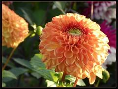 Apricot coloured bloom (ronramstew) Tags: dahlia flower orange garden plant bloom forfar angus scotland