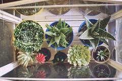 My greenhouse from Ikea (Evangelina M) Tags: pottedplants indoors growingplants ikea succulents