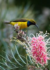 DSC_9125.jpg (dalelval) Tags: birds jullaten yellowbelliedsunbird