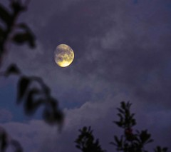 5218 Blue (hour) moon. (Andy - Not too busy) Tags: bbb bluehour mmm moon silhouette sss tree ttt ashtree hollytree