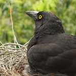 Warm in the Currawong nest on a wet and windy day thumbnail